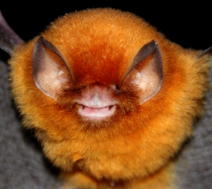 The Funnel-eared bat (Natalus stramineus) – © Veronica Zamora-Gutierrez