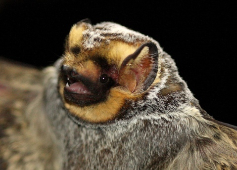 Hoary bat (photo by J.N. Stuart, used under Creative Commons licensing)