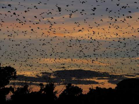 Fruit bats at Kasanka National Park (photo from zambiatourism.com)