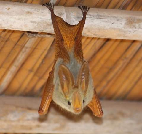 Yellow-winged bat (photo by sandralee, displayed under Creative Commons licensing)