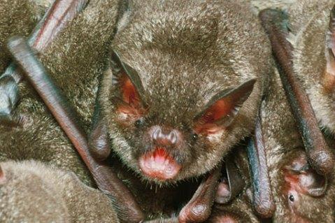 batShort-tailed_Lloyd510